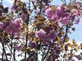 八重桜2009・家の庭その1