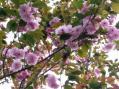 八重桜2009・家の庭その4