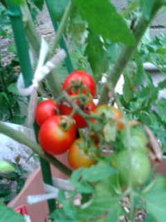 たえちゃんトマト090715