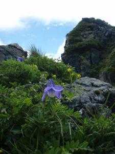 200807ミヤマオダマキ