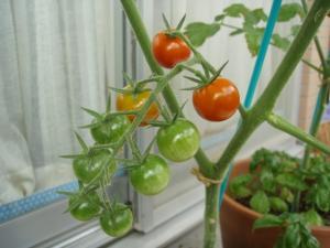 20080715ベランダトマト