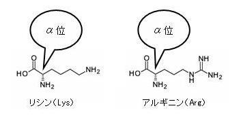 塩基性アミノ酸