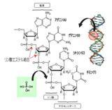 デオキシリボ核酸