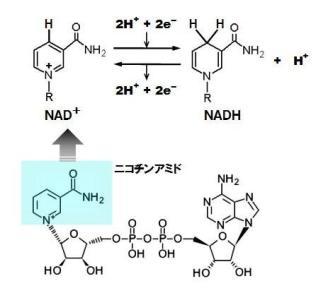 呼吸鎖-NADH