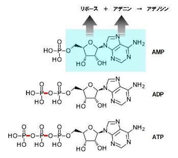 呼吸鎖-ATP