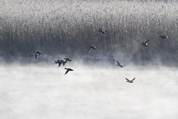 気荒らしと霧氷と鴨  網走川