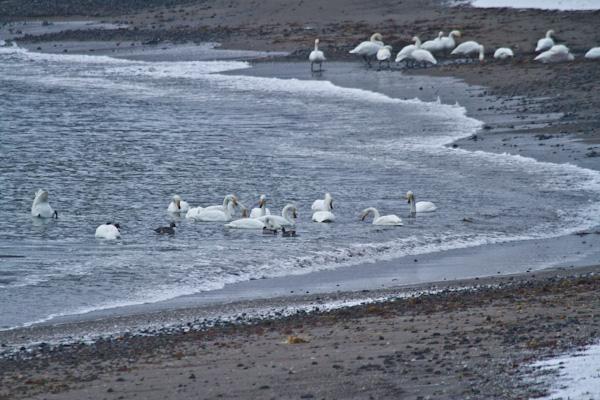 浜辺の白鳥