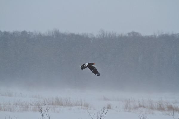 吹雪の中のオオワシ