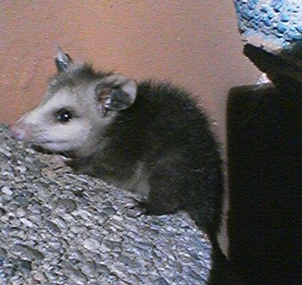 Opossum1_071608.jpg