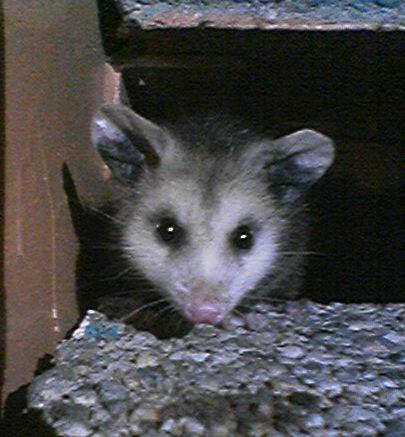 Opossum2_071608.jpg