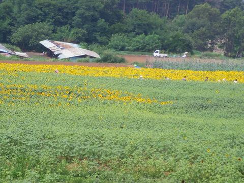 明野サンフラワーフェス2008