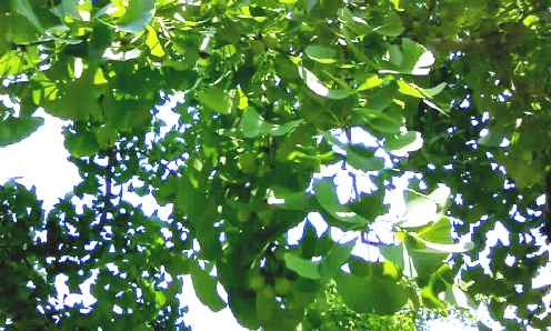 梅雨前~銀杏の実。