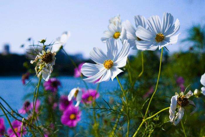 大濠公園に咲いてたコスモス