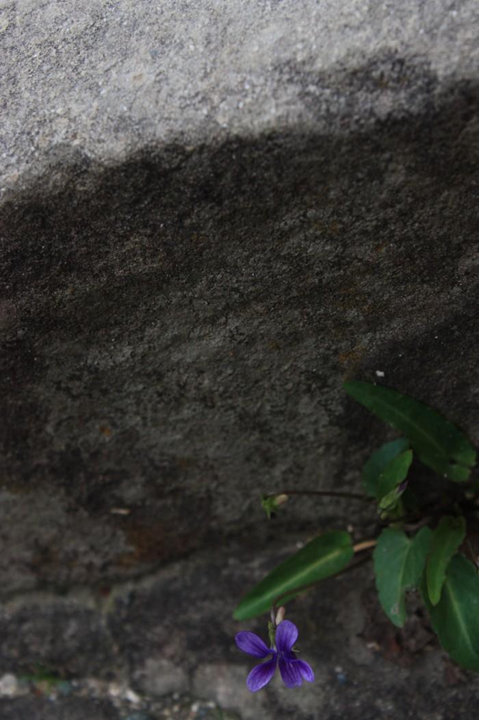 石垣の間に咲く花
