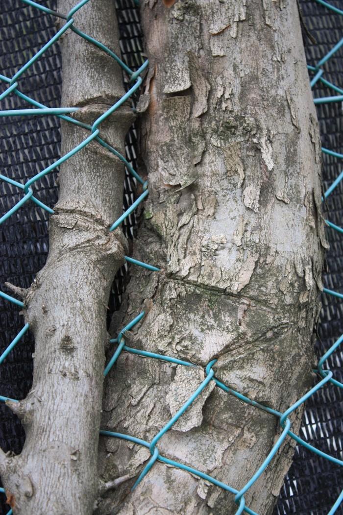 フェンスが木に食い込んでいる