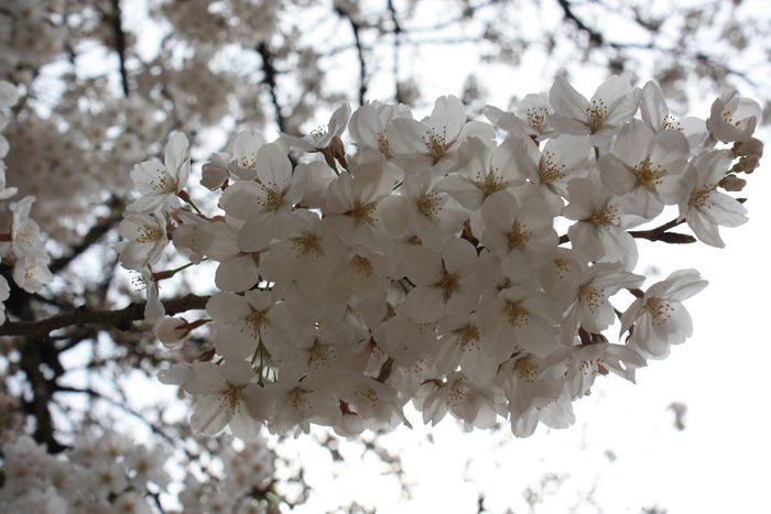 近所の公園の満開の桜