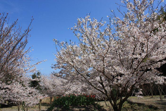 鳥飼豆腐の桜