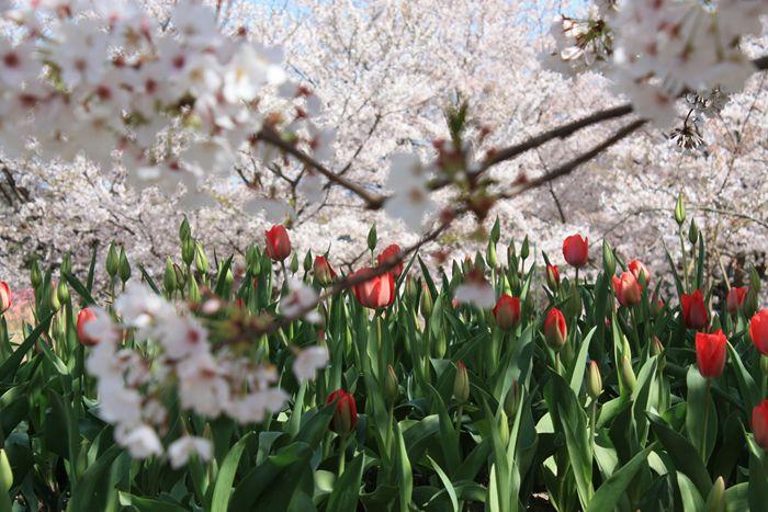 鳥飼豆腐の裏の桜とチューリップ