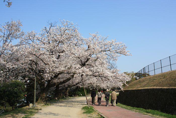 桜満開 平和台陸上競技場周辺