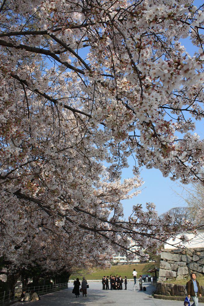 平和台野球場の桜