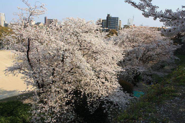 舞鶴公園内の桜