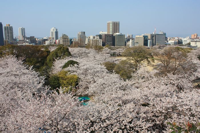 桜満開! 福岡城址・天守台からの眺め