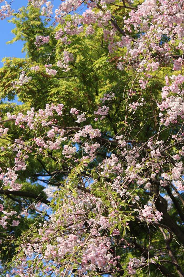 ソメイヨシノと違う種類の桜ともみじ