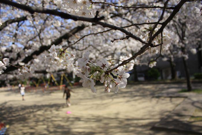 福岡の満開の桜