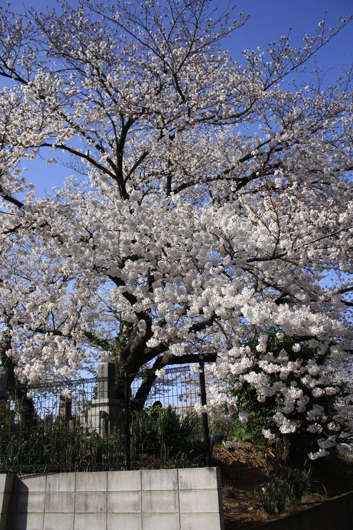 墓地の満開桜
