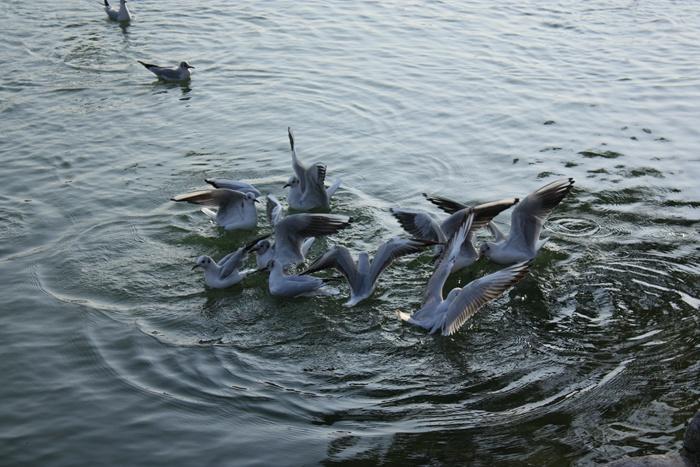 大濠公園の鳥