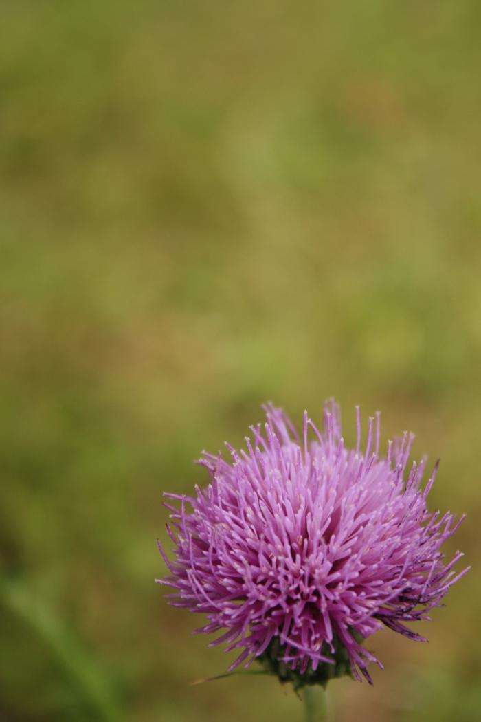 油山市民の森に咲いていた薊(あざみ)