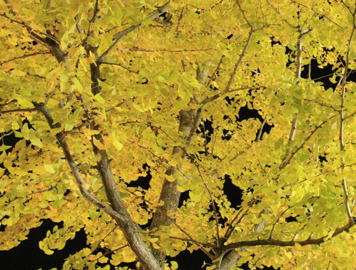 街路樹のイチョウの紅葉写真