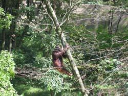 木登るオラウータン
