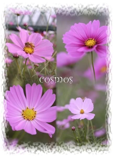 cosmos02.jpg