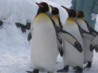 ペンギンのさんぽ