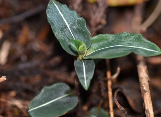葉は暗紫緑色でビロード状の短毛が密生している中央脈はひと筋の白線がある