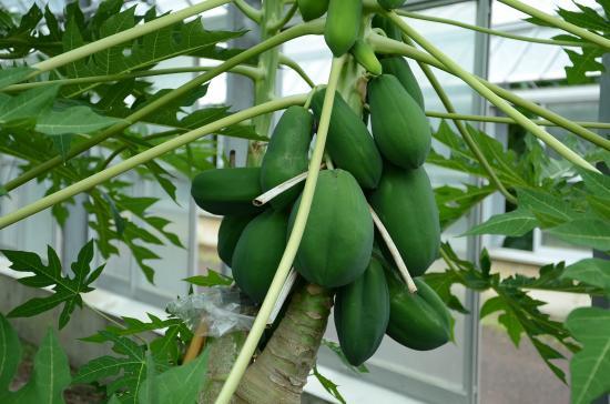 川津造園さんの温室栽培のパパイア