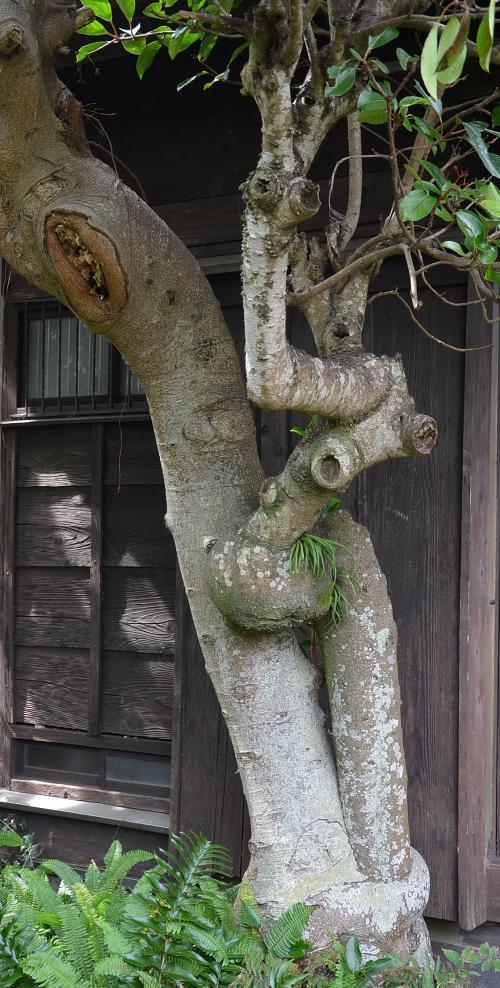 ゴムの木が...