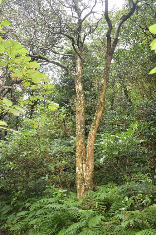 御代ヶ池にある日本一のツゲの木(幹周り175cm)