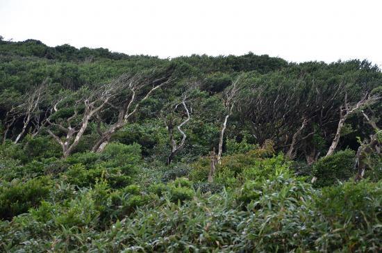 風衝地帯の変形した黄楊