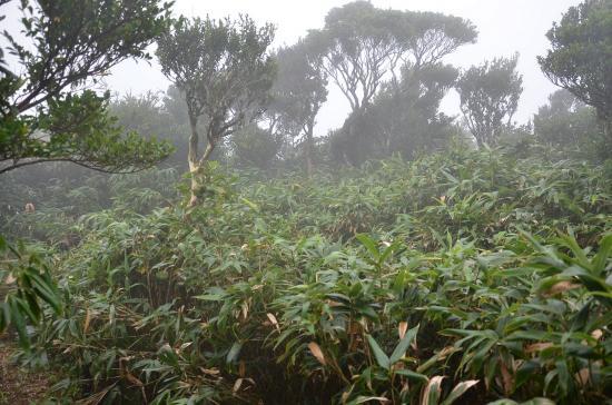 御山(851m)近くの黄楊とミクラザサ