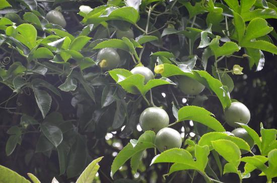 パッションフルーツ 夏開花 秋結実 2度目は酸味が強い