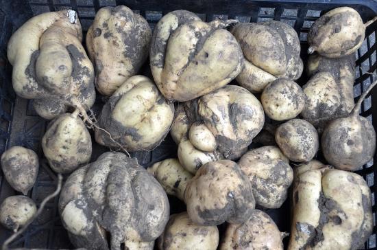 黄金千貫 たしか「森伊蔵」がこの芋を使用 この焼き芋は栗より美味