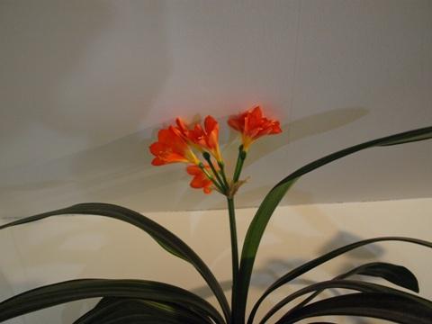 蘭が咲いたの01(2011.01.25)