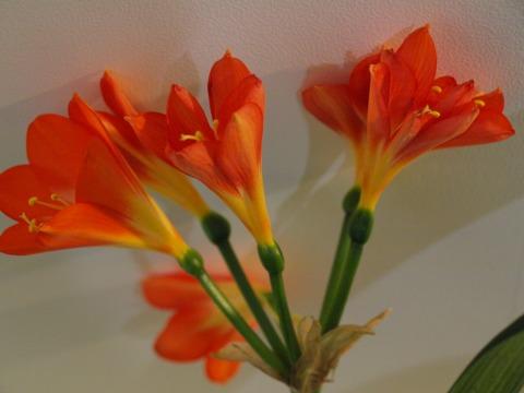 蘭が咲いたの02(2011.01.25)