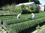 茶を刈り取る夫婦