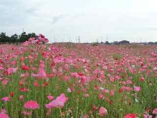 丘の上 ひなげしの花が~・・・古っ!