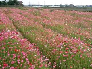 アイスランドポピー 花言葉は 七色の恋 休息