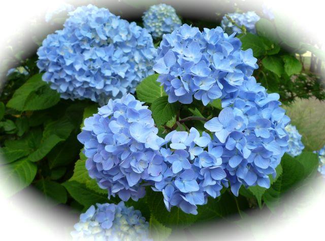 原由子のあじさいのうた 雨に咲いていたつぶらな花びら・・・だんだん好きになってそしてだんだん恋になる~