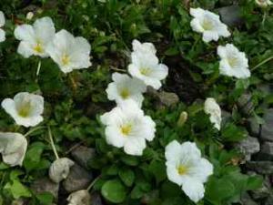 銀杯草、銀さかずき とも呼ばれています。上向きに咲いた花が小さな杯のよう  花言葉は心が和む、楽しい想い出